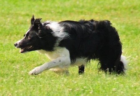 Bruce Border Collie Working Sheep Showing Great Style