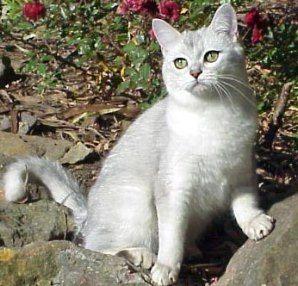 Burmilla Cat Pictures Burmilla Cat Rare Cat Breeds Rare Cats