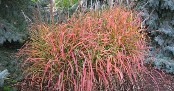 Miscanthus purpurascens flame grass ornamental full sun for Perennial grasses full sun