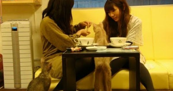 Cat Cafes Became Popular In Japan When The First Cat Cafe Was Opened In 2004 In Osaka The Patrons Sit With Friends And Drink Cof Cat Cafe Calico Cat Free Cats