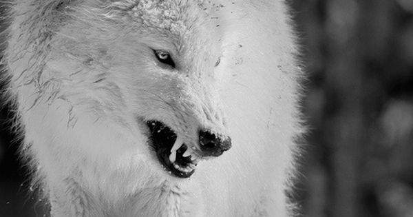 Angry Animals Google Search: Angry Wolf Facebook Covers - Google Search