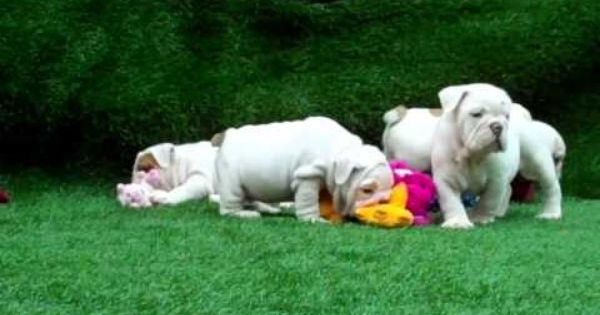 White Whitebulldog Whiteenglishbulldog English Bulldog