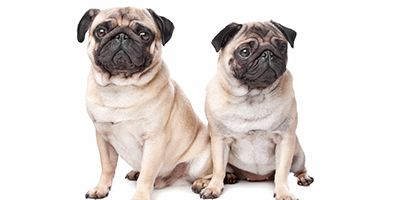 Awesome Pug Names 95 Sweet Silly Adorable Ideas Dog Poster