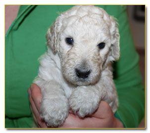 5 Week Old Standard Poodle Puppy Standard Poodle Poodle Puppy
