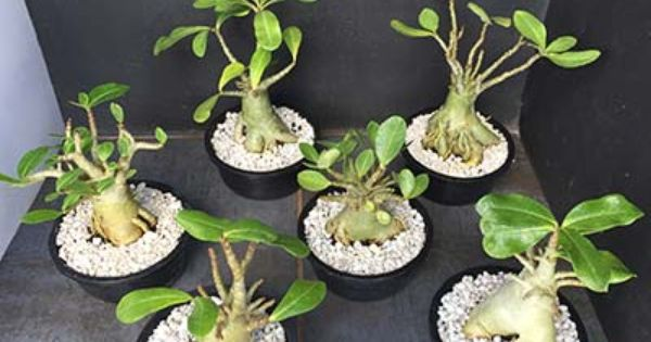 Adenium Arabicum Thai Socotranum Desert Rose Plant Adenium Desert Rose
