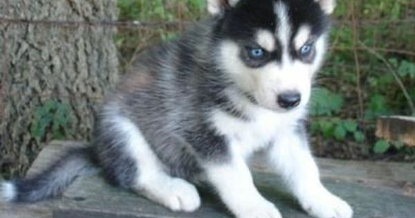 Two Beautiful Siberian Husky Puppies A Red White Male And A Black