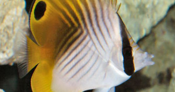 Threadfin Butterfly Fish Saltwater Aquarium Fish Butterfly Fish Aquarium Fish