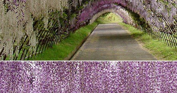 Wisteria Tunnel - Kawachi Fuji Gardens in Japan. Beyond amazing!