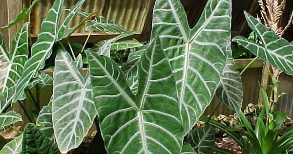 Cuatro plantas ex ticas de interior plantas ex ticas for Plantas de interior exoticas