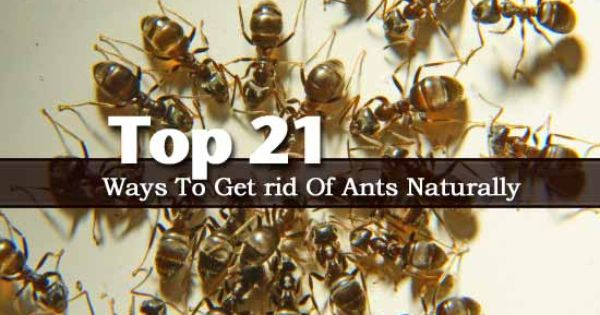 Top 21 Ways To Get Rid Of Ants Naturally Landscaping