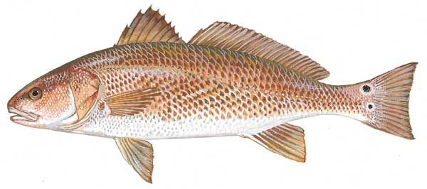 Red Drum Fishing At The Obx Red Fish Fish Fish Drawings