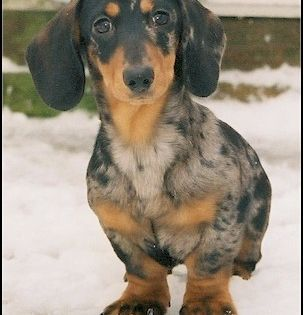 Apple The Dachshund How Can U Resist That Face Exclusive Tshirt