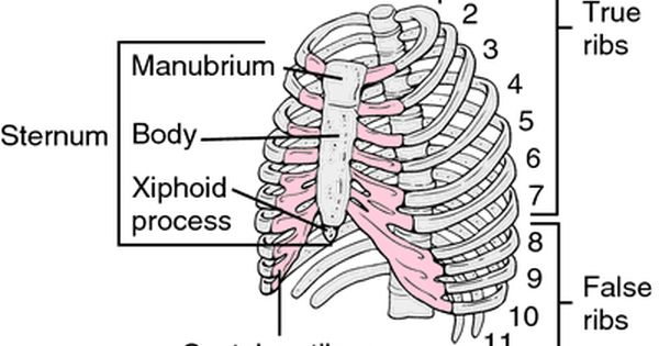 image of xiphoid process http://www.hxbenefit/wp-content, Sphenoid