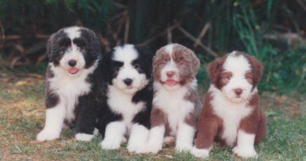 Bearded Collie Puppies All The Colours Blue Black Fawn Brown