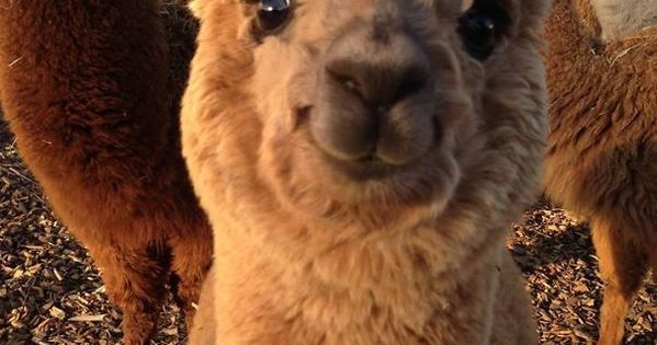 10+ Alpacas That Will Make Your Monday | Animals ...