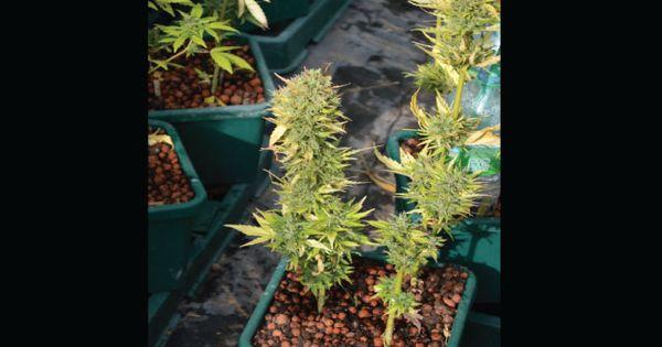 10 Tips for Auto-Flowering Pot Plants | Growing marijuana ...