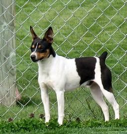 Clearbrook Kennels Rat Terrier And Papillon Breeder And Puppies In