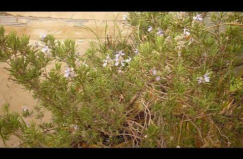 ضيف طاش يحب الزهردخل يشارك باكليل الجبل الروز ماري الي حصل كتير مضحك ما بيخطر على بالكrosemary Youtube Plants Farm Herbs