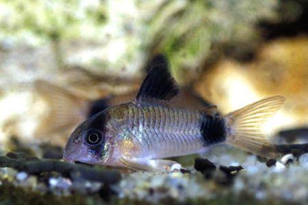 Panda Cory Cat Corydoras Care Sheet Panda Fish Pet Aquascape