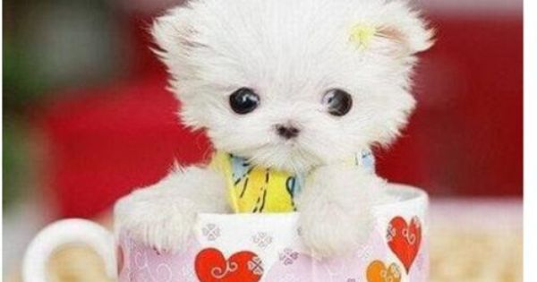 SO CUTE! smallest tea cup puppies | TINY TEACUP DOGS! - 6