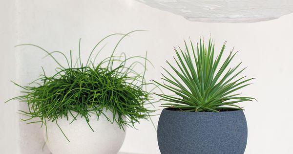 rhipsalis et yucca rostrata truffaut plantes d 39 int rieur pinterest coup et l zards. Black Bedroom Furniture Sets. Home Design Ideas