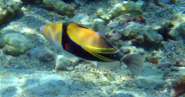 Reef Triggerfish Aquarium Fish Reef Hawaiian Names