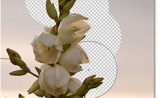 Learn how Photoshop's powerful Background Eraser Tool uses differences in color to