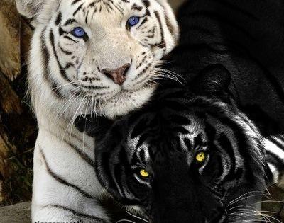 #Tiger BigCats