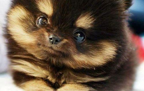 I must have one of these one day - Pomsky = Pomeranian/Husky