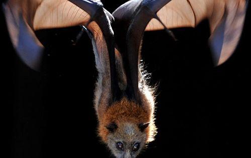 Megabat, also called fruit bats, old world fruit bats, or flying foxes.