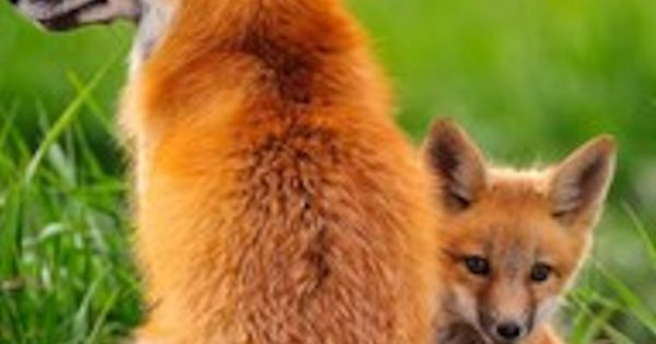 fox and kit pagan wiccan druid pinterest foxes. Black Bedroom Furniture Sets. Home Design Ideas