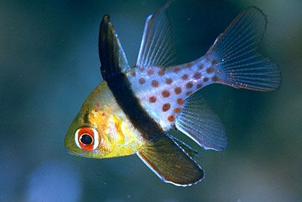 Pajama Cardinalfish Aquatic Animals Marine Fish Best Aquarium Fish Beautiful Sea Creatures