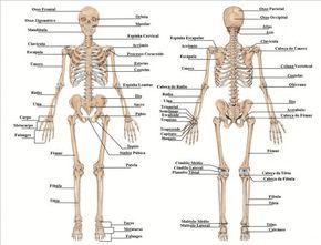 Esqueleto Humano Ossos Do Corpo Humano Ossos Do Corpo