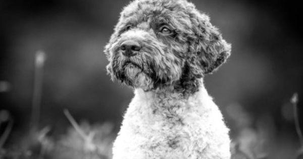 Cani Di Lavoro Lagotto Zucht Brenner Lagotto Zuchter In Nrw Hobbyzucht Truffelhunde Net Truffelhunde Brenner Fotos Zuchten Hunde Truffel