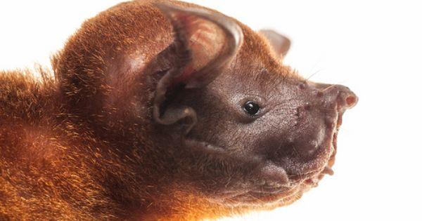 Greater Bulldog Bat Bat Species Bulldog Bat