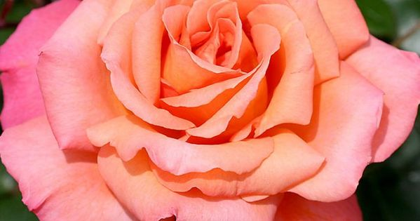 Folklore Planting Roses Hybrid Tea Roses Tea Roses