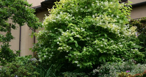 In Spring This Deciduous Shrub Erupts In Brilliant Yellow Gold Toned Leaves The Foliage Turns Soft Chartreuse By Mid Su Plants Landscaping Plants Shade Garden