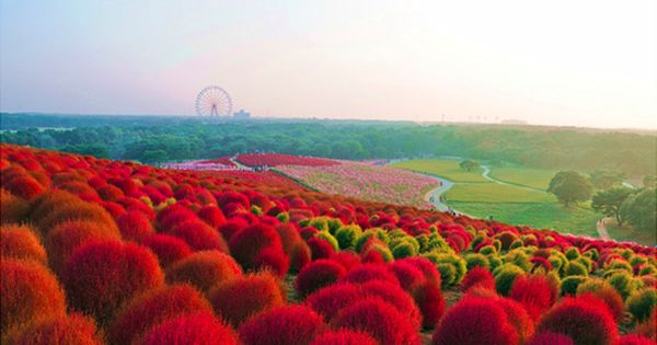 Travel Monday's -Hitachi Seaside Park, Japan