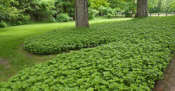 Grass alternative in mass planting of pachysandra for Mass planting grasses