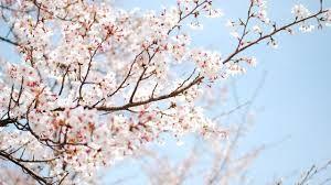 Resultado De Imagen De Cherry Blossom Cherry Blossom Background Cherry Blossom Wallpaper Sakura Tree