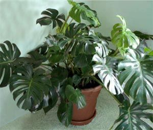 Split Leaf Philodendron Can Be Trained To Grow Upwards On A Moss