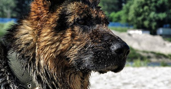 Best Shampoo For German Shepherd Dogs Puppies Best Washing And