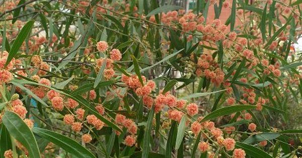 acacia scarlet blaze     the only red flowering wattle  my garden
