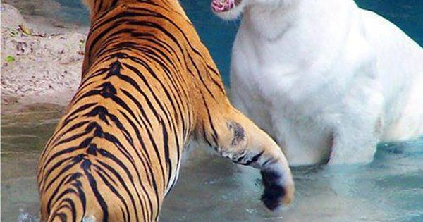 Amazing wildlife - White tiger and tiger in water photo tigers