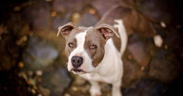 Pin By Collin Dwigans On Woof Dog Photograph Pitbulls American Staffordshire Bull Terrier