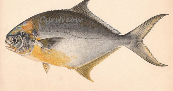 Vintage fish chromolithograph florida pompano litho by for Picture of pompano fish