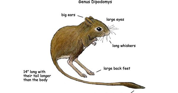 Parts Of A Kangaroo Rat Desert Of North America