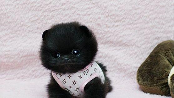 black cuteness fluffball fluffy furry fuzzy pom