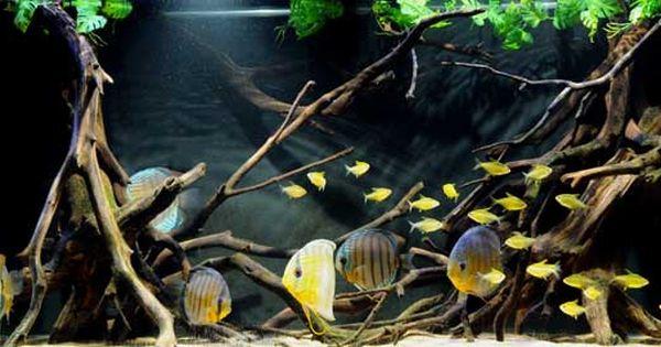 Discus And Lemon Tetras Discus Tank Discus Aquarium Aquascape