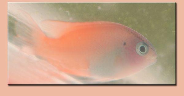 Saltwater pink damsel pomacentrus smithi aka pink smith for Pink saltwater fish